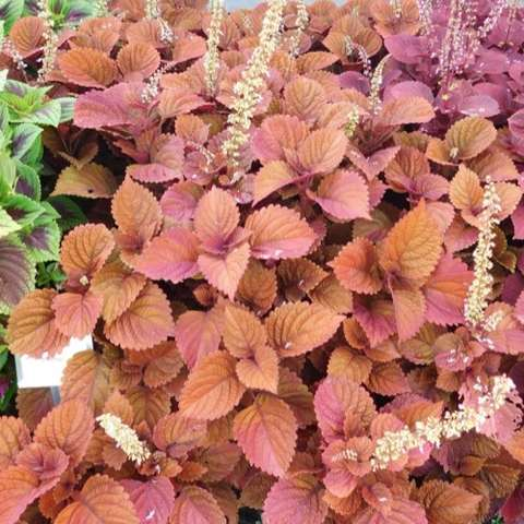 Coleus Inferno, deep rusty red leaves with spikes of white flowers