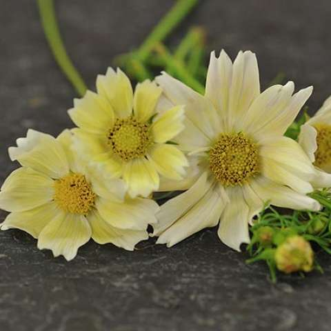 Cosmos Xanthos, light yellow, jagged petal ends
