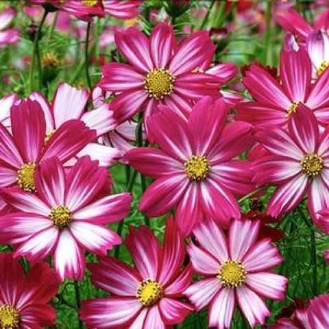 Cosimo Dancing Dolls cosmos, dark pink to white daisies with jagged-end petals