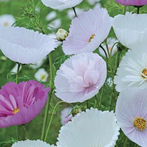 Cosmos Cupcakes Mix, cup-shaped flowers in white, lavender, purple