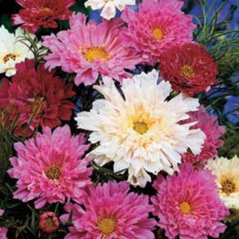 Cosmos 'Double Click', white pink red double daisies