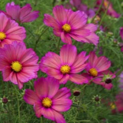 Xsenia cosmos, pink with yellow centers