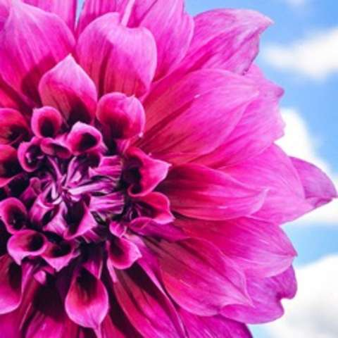 Dahlia Emory Paul, magenta pink decorative double