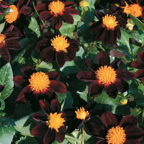 Dahlia Black Beauty, striking flowers with bright gold centers and dark red petals