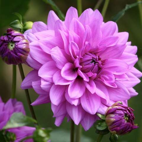 Dahlia Blue Boy, rosy lavender double
