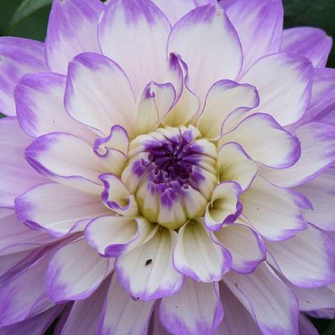 Dahlia Blue Wish, white petals with blue-lavender ends, double.