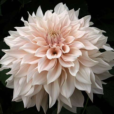 Dahlia Cafe au Lait, double, pointed tips, cream to pink.