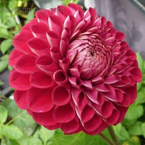 Dahlia Cornel, double ball form, dark red