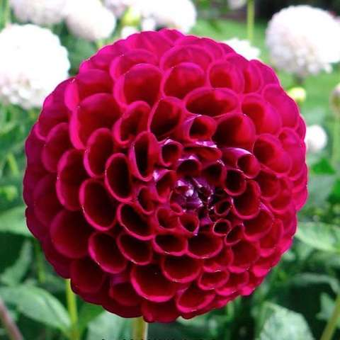Dahlia Dowhnam Royal, wine-colored ball form