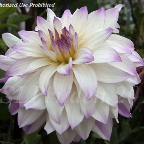 Dahlia Ferncliff Illusiom, white pointed petals, lavender tips