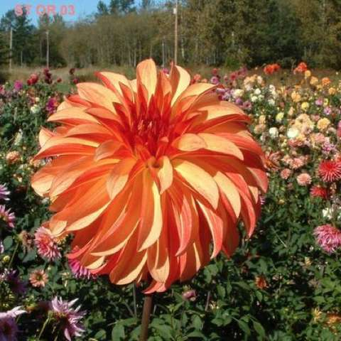 Dahlia Irish Pinwheel, double with orange curved petals in a pinwheel shape