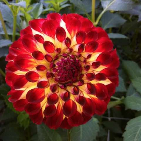 Dahlia Jowey Joshua, dark red petals fade to light yellow near center, ball form