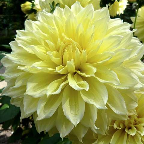 Dahlia Kelvin Floodlight, double giant light yellow