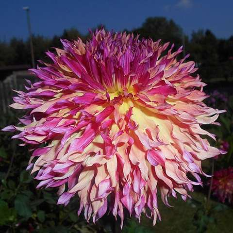 Dahlia Myrtle's Folly, dark pink to light yellow many petals, riotous