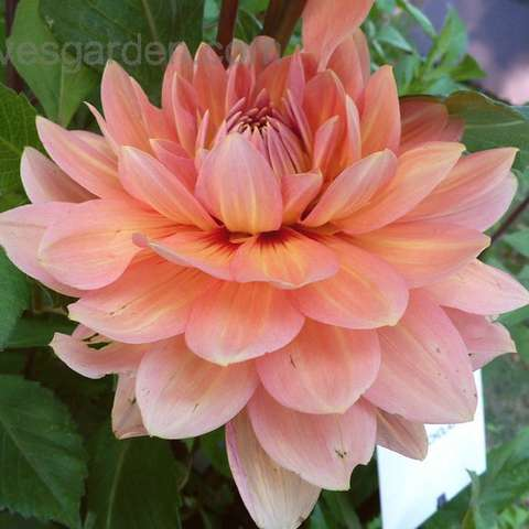 Dahlia Nicholas, double waterlily form, peach to apricot color