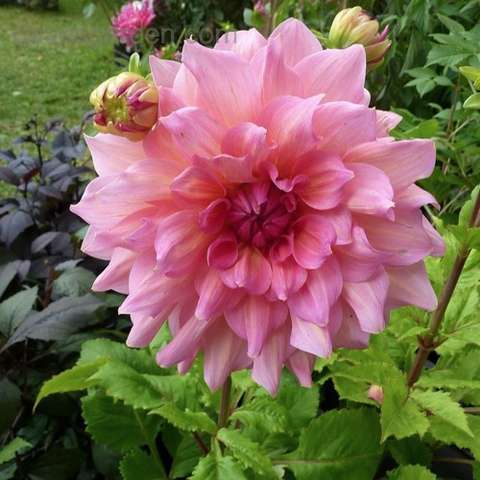 Dahlia Otto's Thrill, double pink