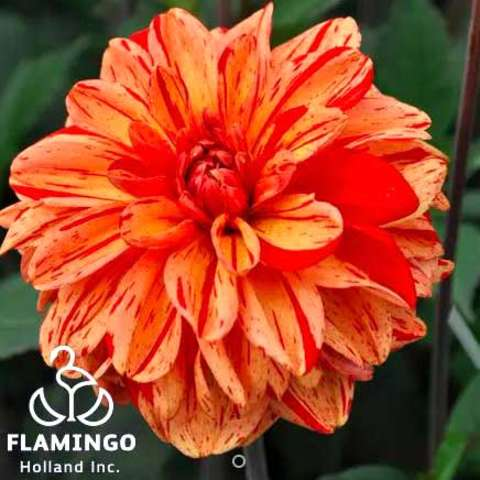 Dahlia Pasolini, multi-orange striped and speckled double