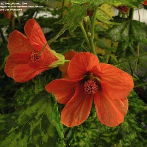 Flowering Maple Thompsonii, orange flowers and variegated foliage