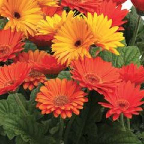 Majorette Mix gerbera daisies, gold and orange