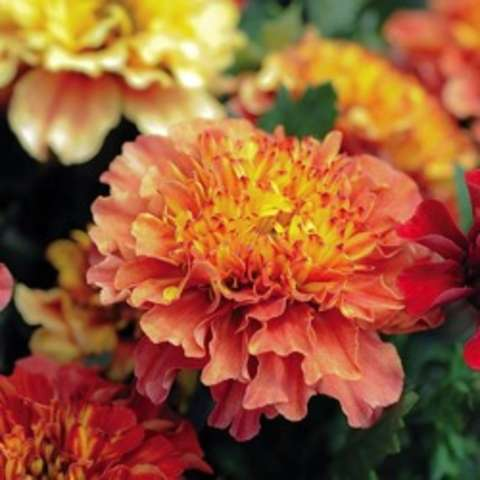 Tagetes Strawberry Blonde, pinkish outer petals, orange to gold inner