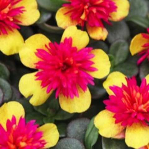 Portulaca ColorBlast Double Guava, five gold petals and dark magenta double center