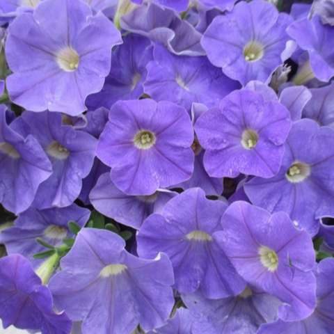 Petunia Classic Blue, blue-purple, single petal flowers