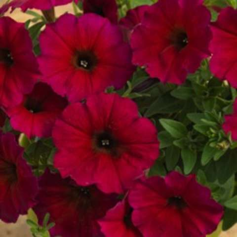 Petchoa Bordeaux, dark red to burgundy petunia
