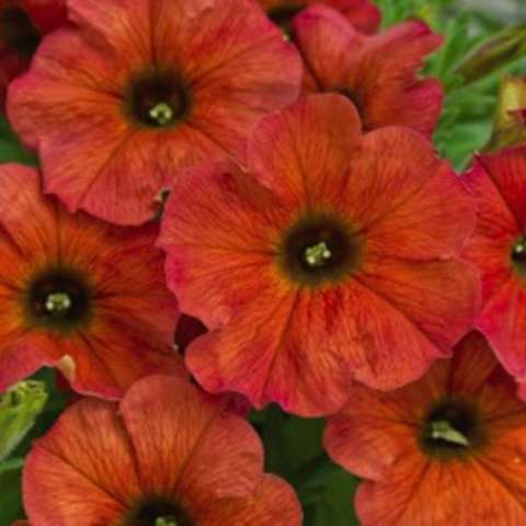Petchoa Cinnamon, rusty orange petunia-like flowers