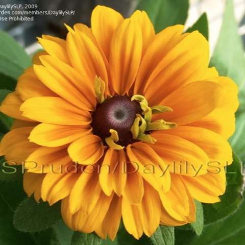 Rudbeckia Tiger Eye, flowers have brown eyes with orange petals that fade to gold