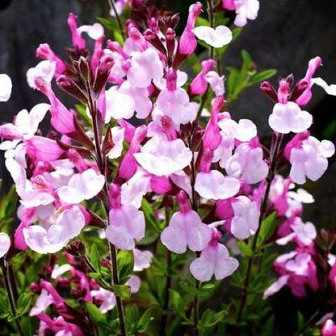 Salvia Dyson's Joy, two-tone pink flowers with petticoats