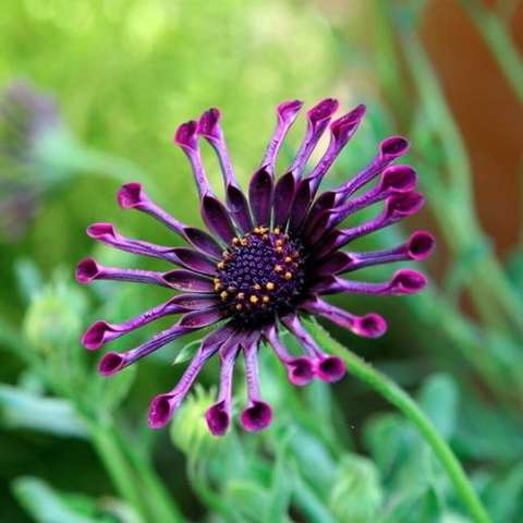 Osteospermum Spider Purple, purple spoon-shaped petals
