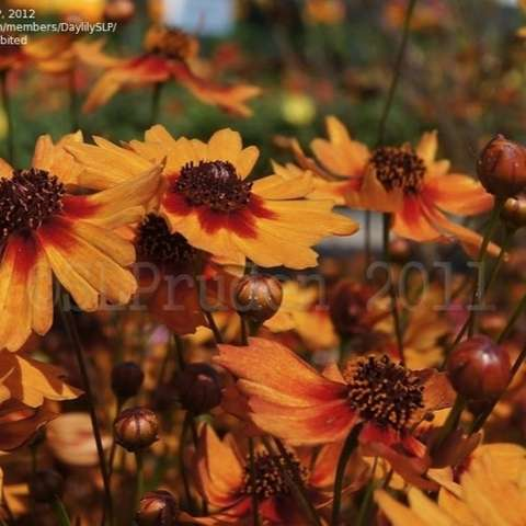 Coreopsis Pumpkin Pie, almost orange petals with dark centers and petal edges at center