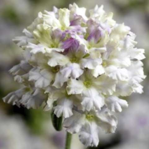 Verbena Limoncello, white pompom of flowers with lavender tinges