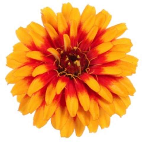 Zinnia Sweet Tooth Candy Corn, gold and red petals