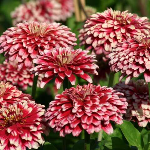 Zinnia Mazurkia, double red with white tips on petals