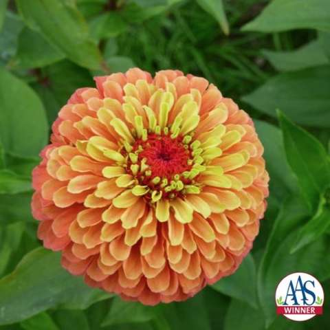 Zinnia Queen Lime Orange, lime green petals near center become orange farther out