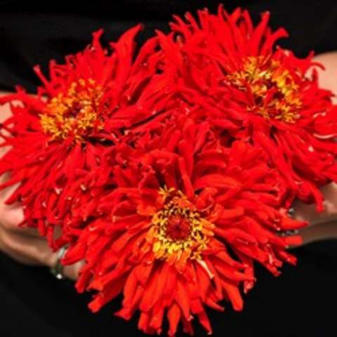 Double red cactus-style zinnia's