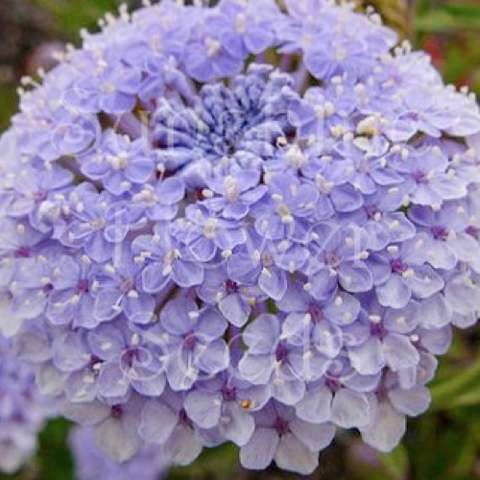 Blue lace flower, lavender pincushions