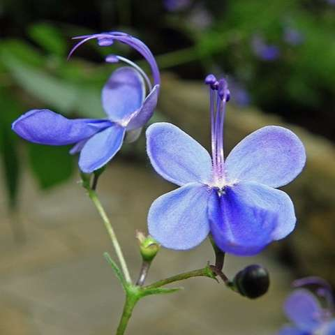 Rotheca myricoides, blue-lavender butterfly-like flowers, close up