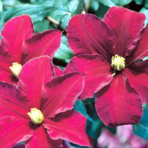 """6""""   flowers open nearly black, then mature to dark ruby-red with brilliantly cont"""
