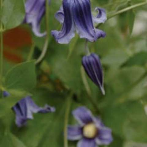 Nodding bells in the deepest shade of inky blue