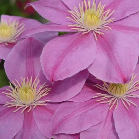 Clematis Alaina, light pink with darker pink stripe each petal, light yellow anthers