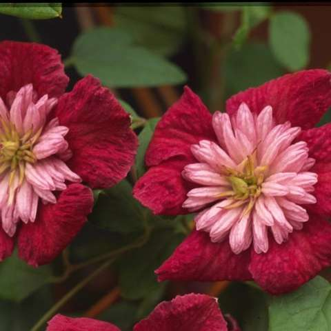 Clematis Avant Garde, dark red petals, large pink frilly centers