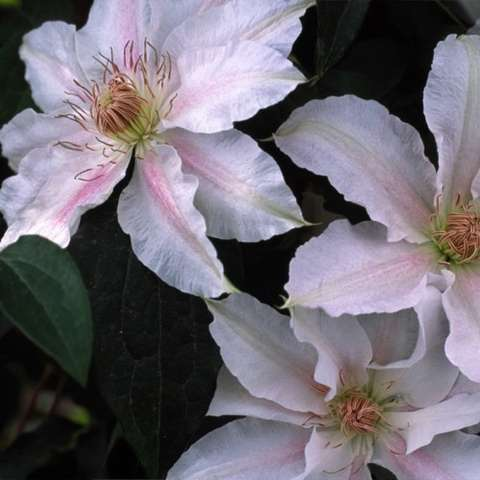 Clematis Chantilly, single flower with light pink petals and darker pink shading