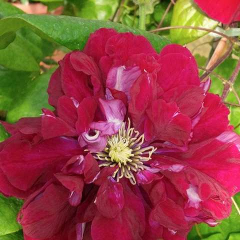 Clematis Charmaine, double flowers in fuchsia