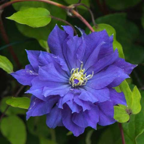 Clematis Copernicus, blue-purple double, yellow anthers