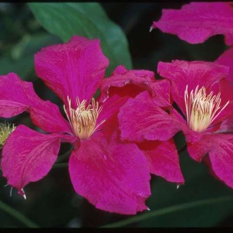 Clematis Ernest Markham, red-magenta with gold anthers