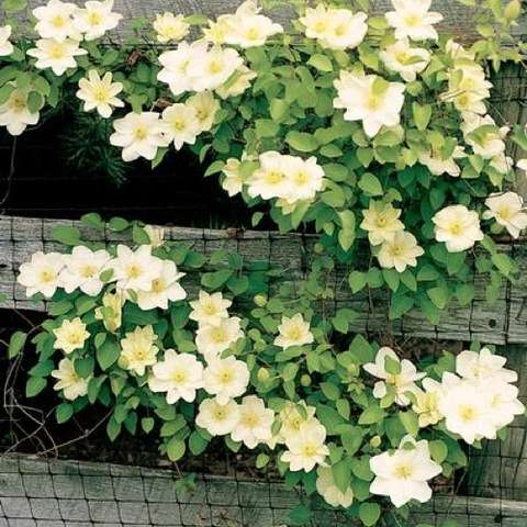 Clematis Guernsey Cream, white to cream with yellow centers