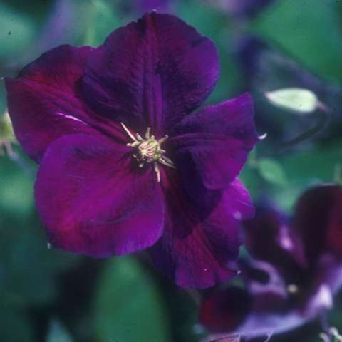 Clematis Jackmanii Superba, dark purple