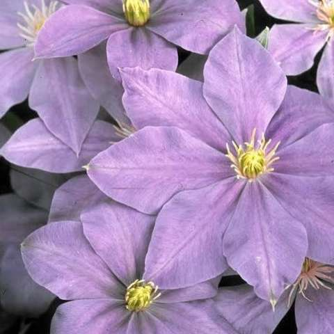 Clematis Lady Northcliffe, light lavender, yellow centers